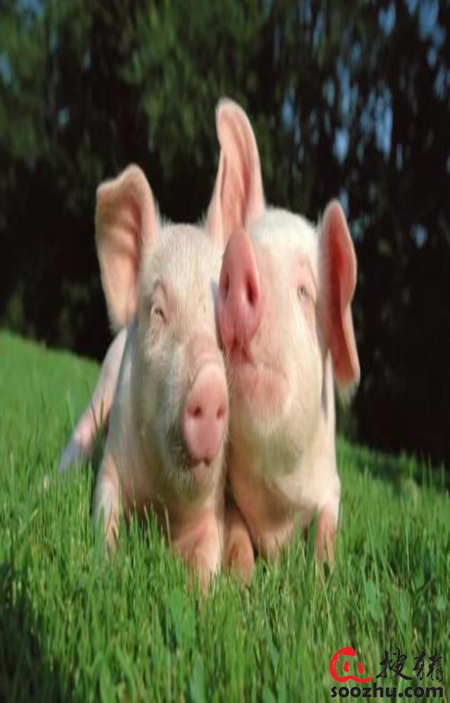 程茂基:非洲豬瘟必將改寫中國生豬行業格局