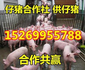 15269955788山東仔豬批發價格