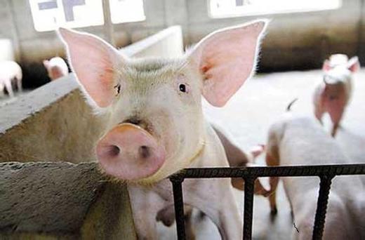豬光吃不長是什么原因