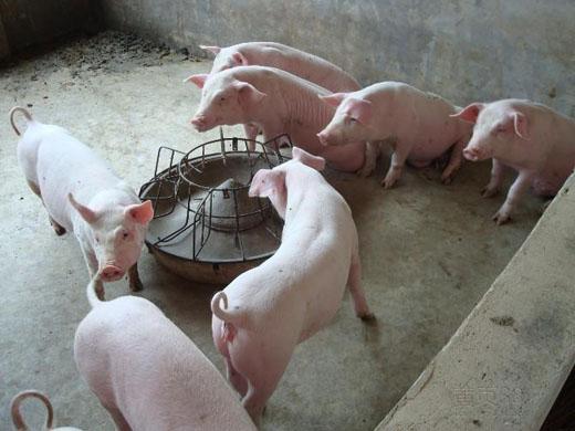 如何提高仔豬的采食量