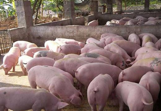 育肥豬怎樣長得快
