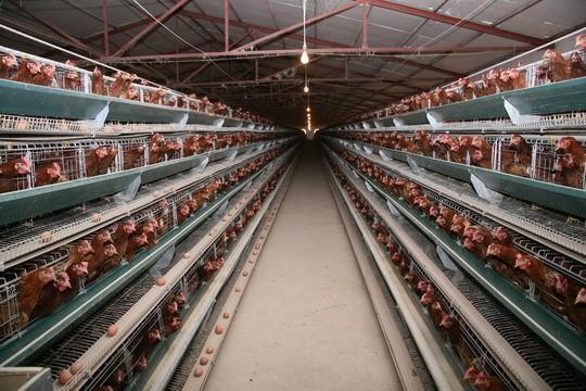 肉鸡用饲料添加剂 龙昌胆汁酸 降低肉鸡料肉比 治疗脂肪肝