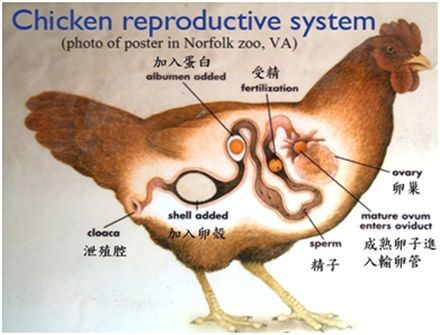 蛋鸡保肝药 蛋禽平安电子捕鱼游戏添加剂 龙昌胆汁酸 治脂肪肝零星死亡