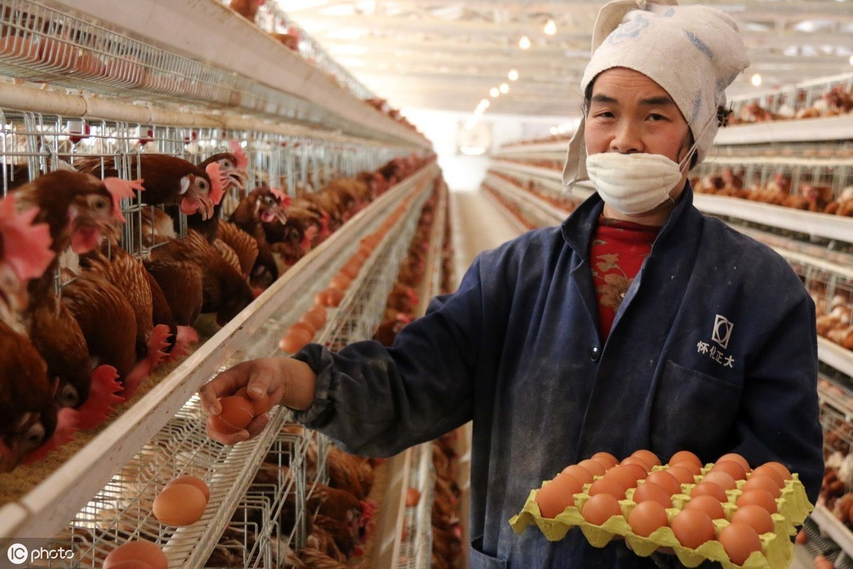 老龄蛋鸡蛋平安电子捕鱼游戏添加剂 龙昌胆汁酸 改善蛋壳质量 提高产蛋率