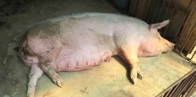 猪饲料添加剂 龙昌胆汁酸治泪斑死皮 后备母猪留种 改善母猪繁殖性能