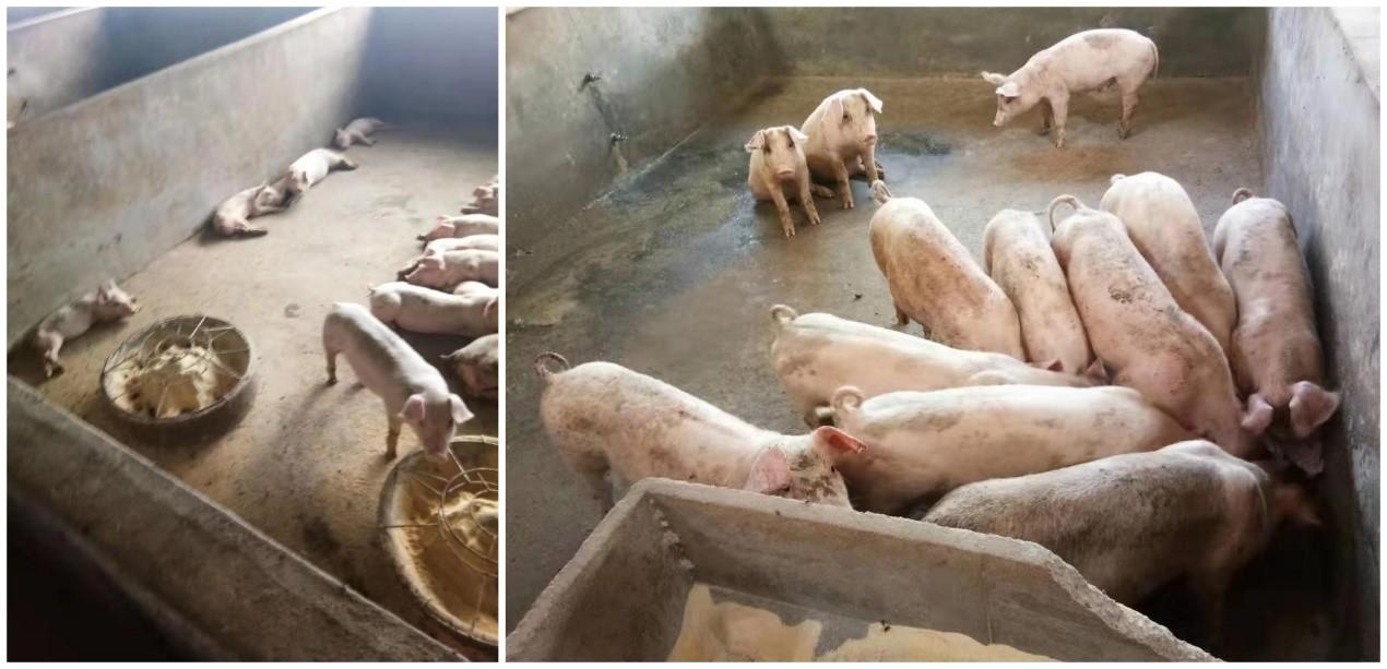 猪用添加剂 龙昌胆汁酸 治仔猪断奶应激 促进猪群快速生长 提高免疫力
