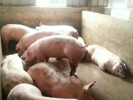 猪怎样喂养长得快好