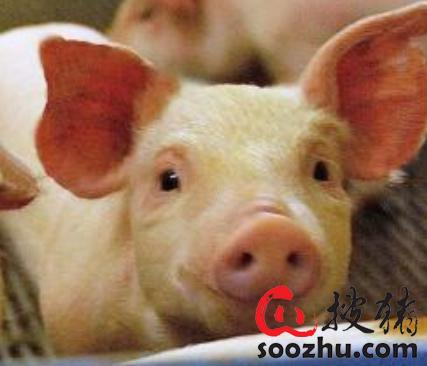 山西省下达生猪调出大县奖励资金支持全省发展生猪生产