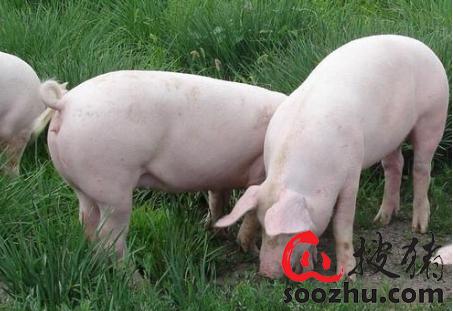 农业农村部召开全国生猪生产恢复视频调度推进会强调